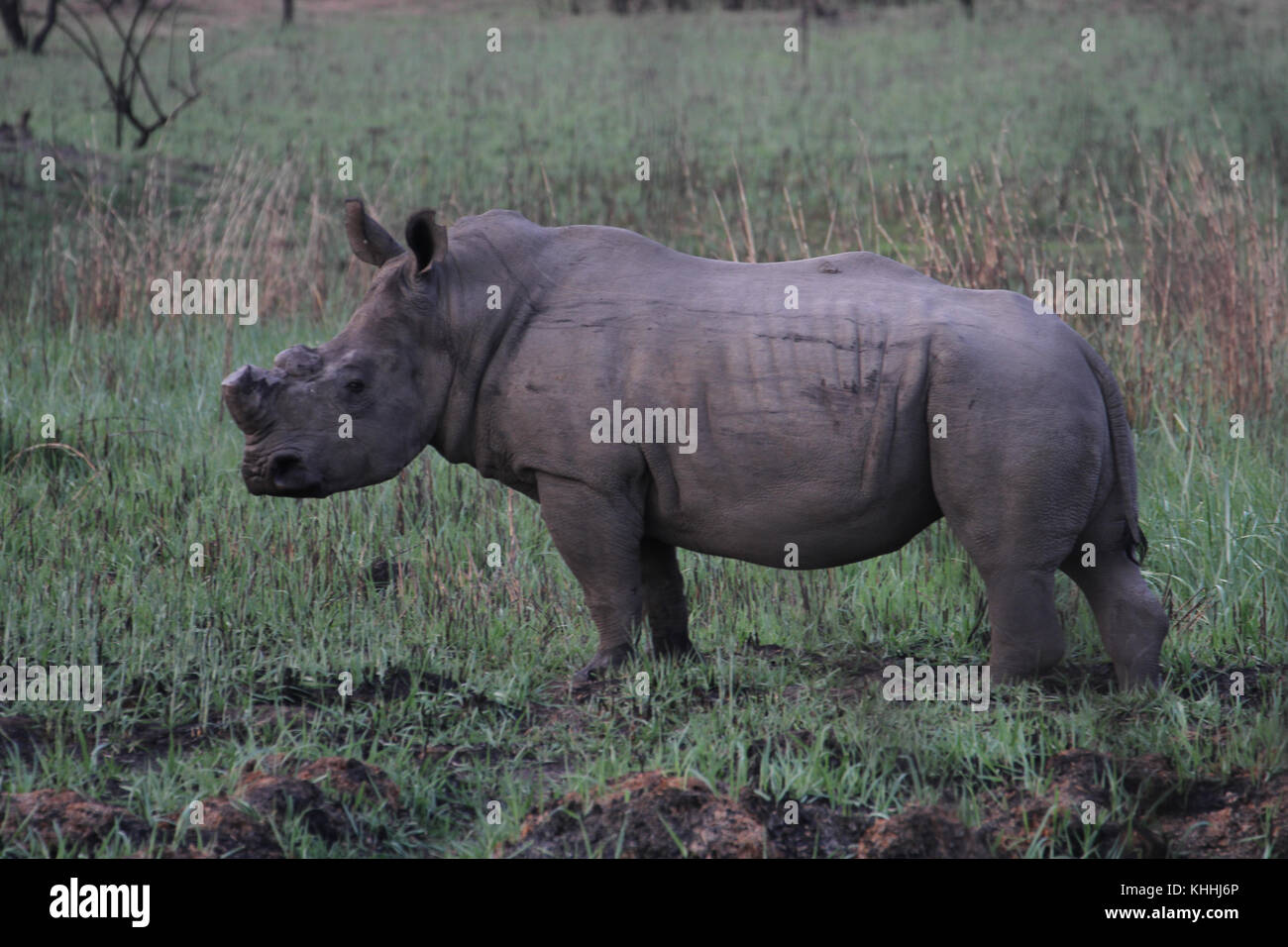 MATOPOS, ZIMBABWE -  17 October. A de-horned white rhino.  Horn less rhinos are not poached and this is one way - Stock Image