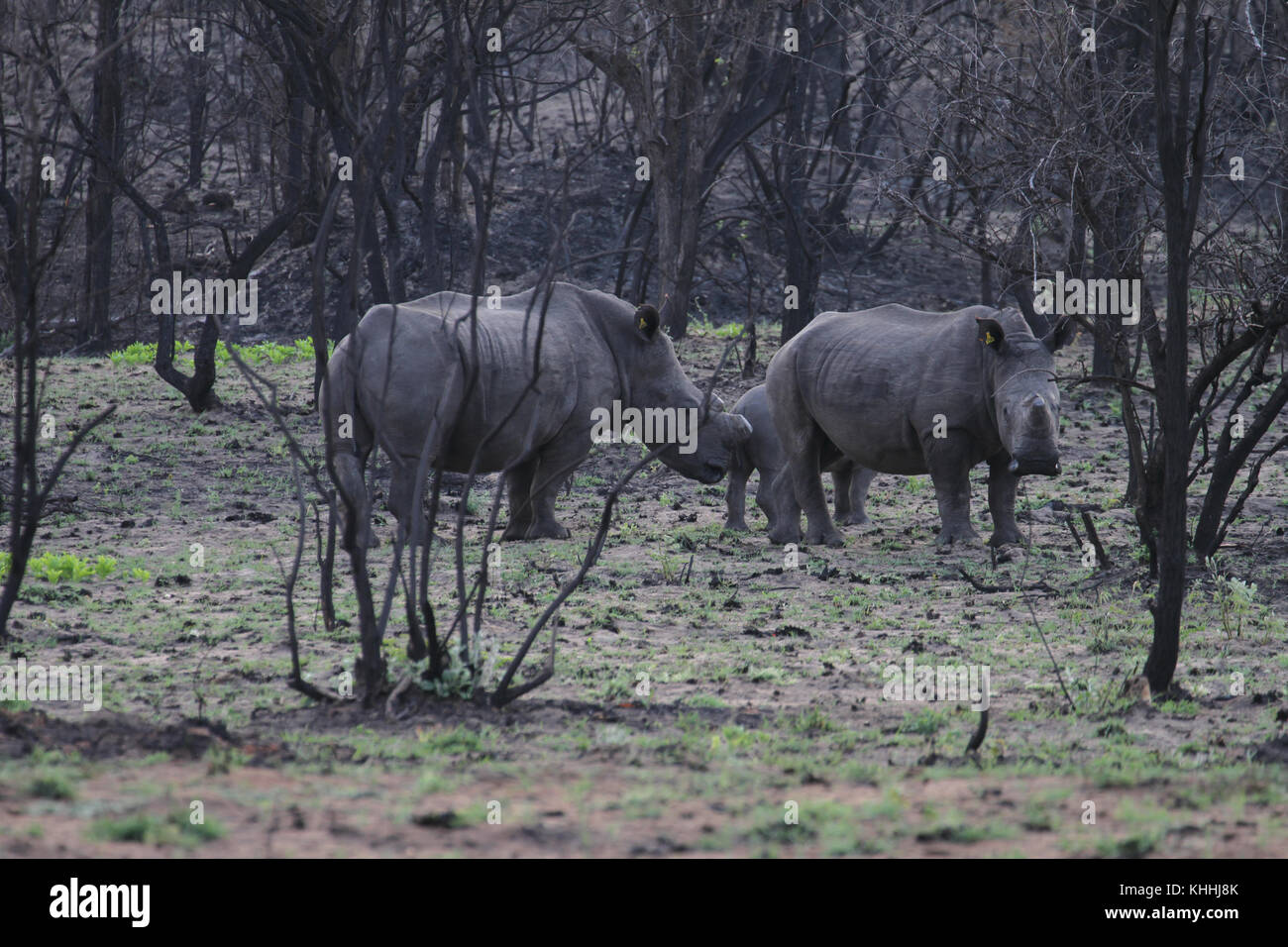 Matobo Park, Zimbabwe - 17 October 2011: A white rhino family (Ceratotherium simum cottoni) in the Matobo Park. - Stock Image
