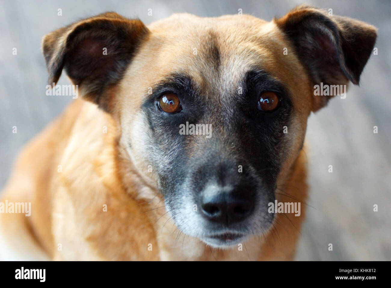 portrait of a yellow dog - Stock Image