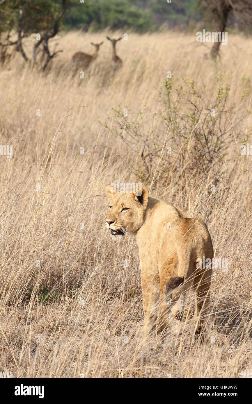 Gweru, Zimbabwe - 2 October 2011: Antelopes on the alert as cabs approach during the  Walking with lions at the - Stock Image
