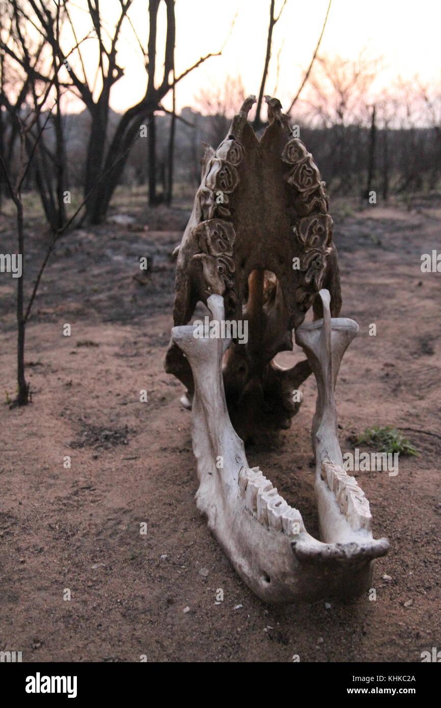 Matobo Park, Zimbabwe - 17 October 2011: Harare, Zimbabwe. 11 October. Slull of a poached white rhino in Matobo - Stock Image
