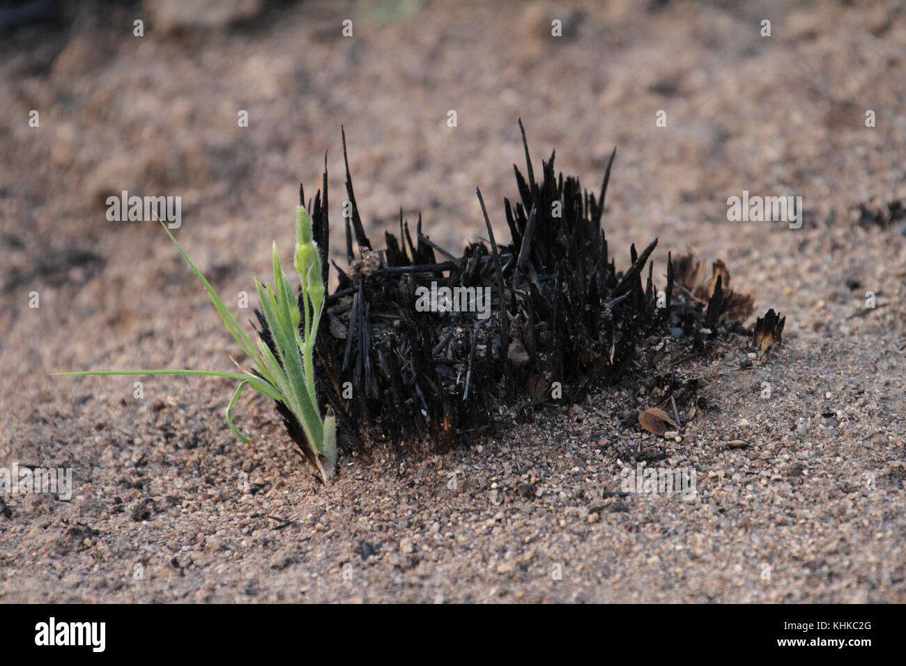 Matobo Park, Zimbabwe - 17 October 2011: Fresh growth of grass on the plains of Matobo National Park. Credit: David - Stock Image