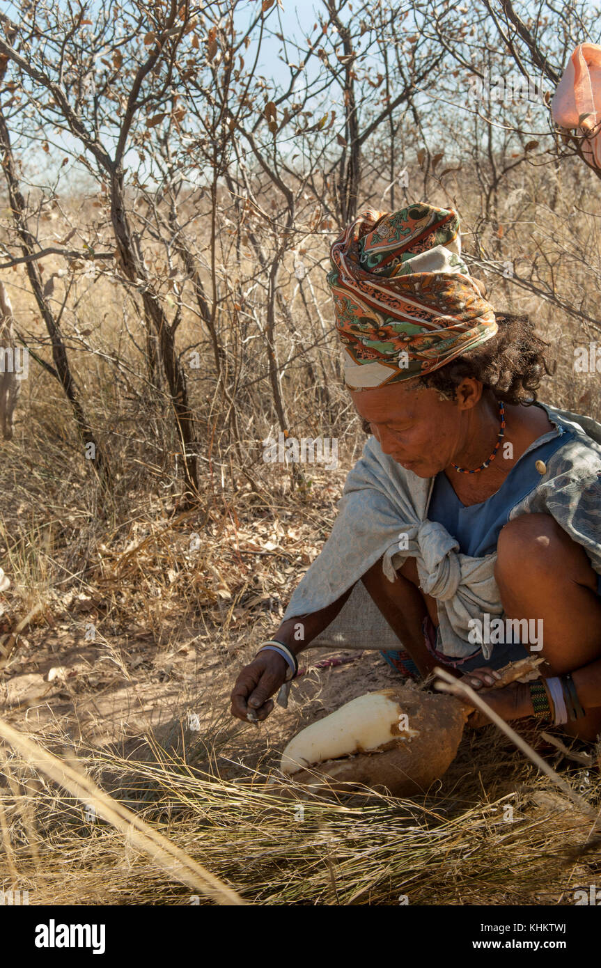 Botswana, kalahari bush woman bushman lady digging for tubers - Stock Image