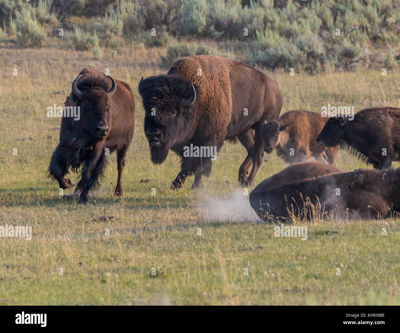 Male Bison Chases a Mate across field - Stock Image