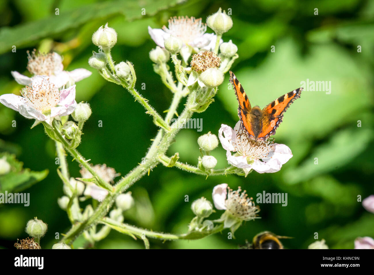 Tortoiseshell butterfly in orange colors on a green plant with white flowers in the summer - Stock Image