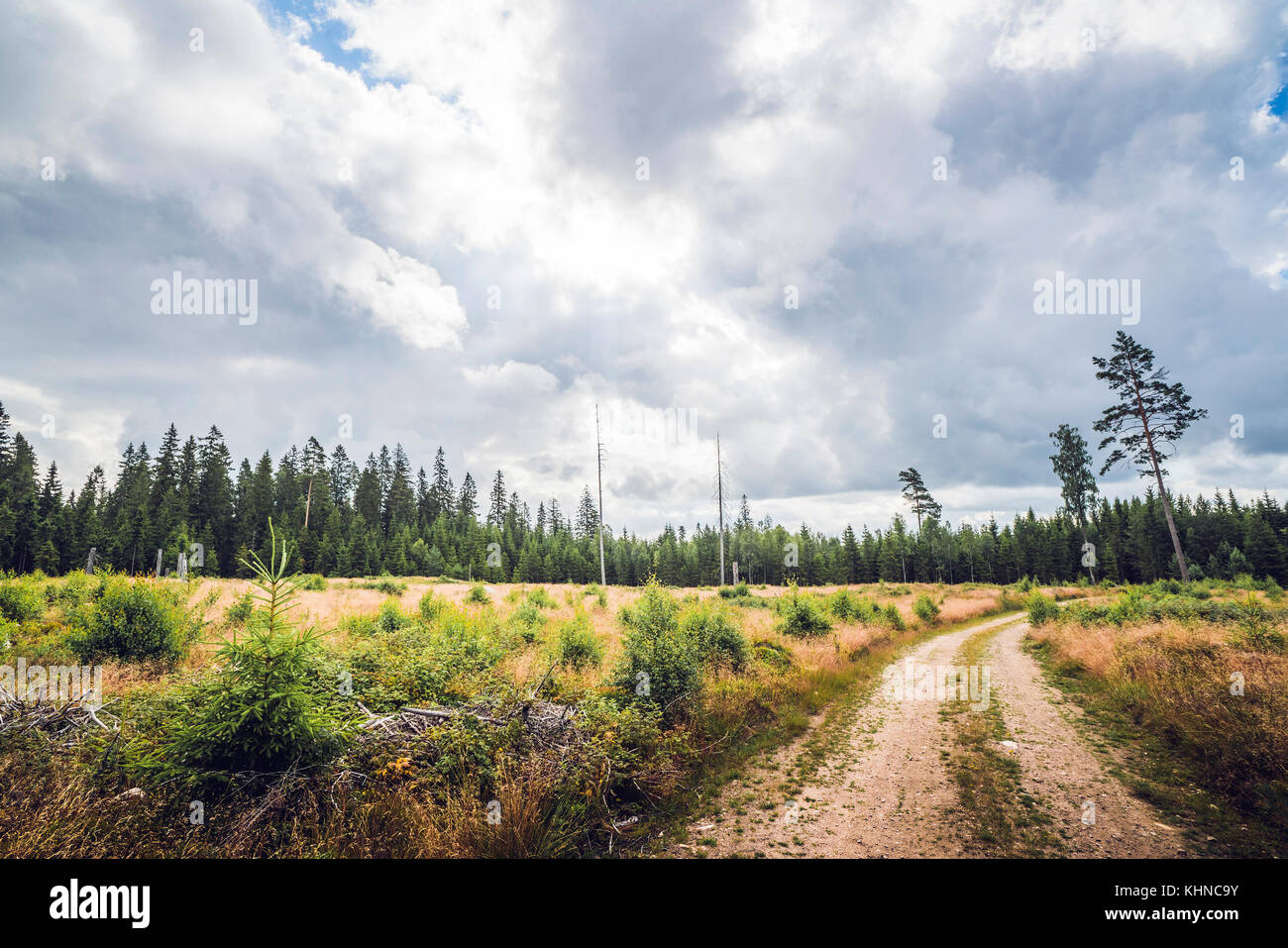 Road going through a forest clearing with pine trees and tall grass in cloudy weather in the summer - Stock Image