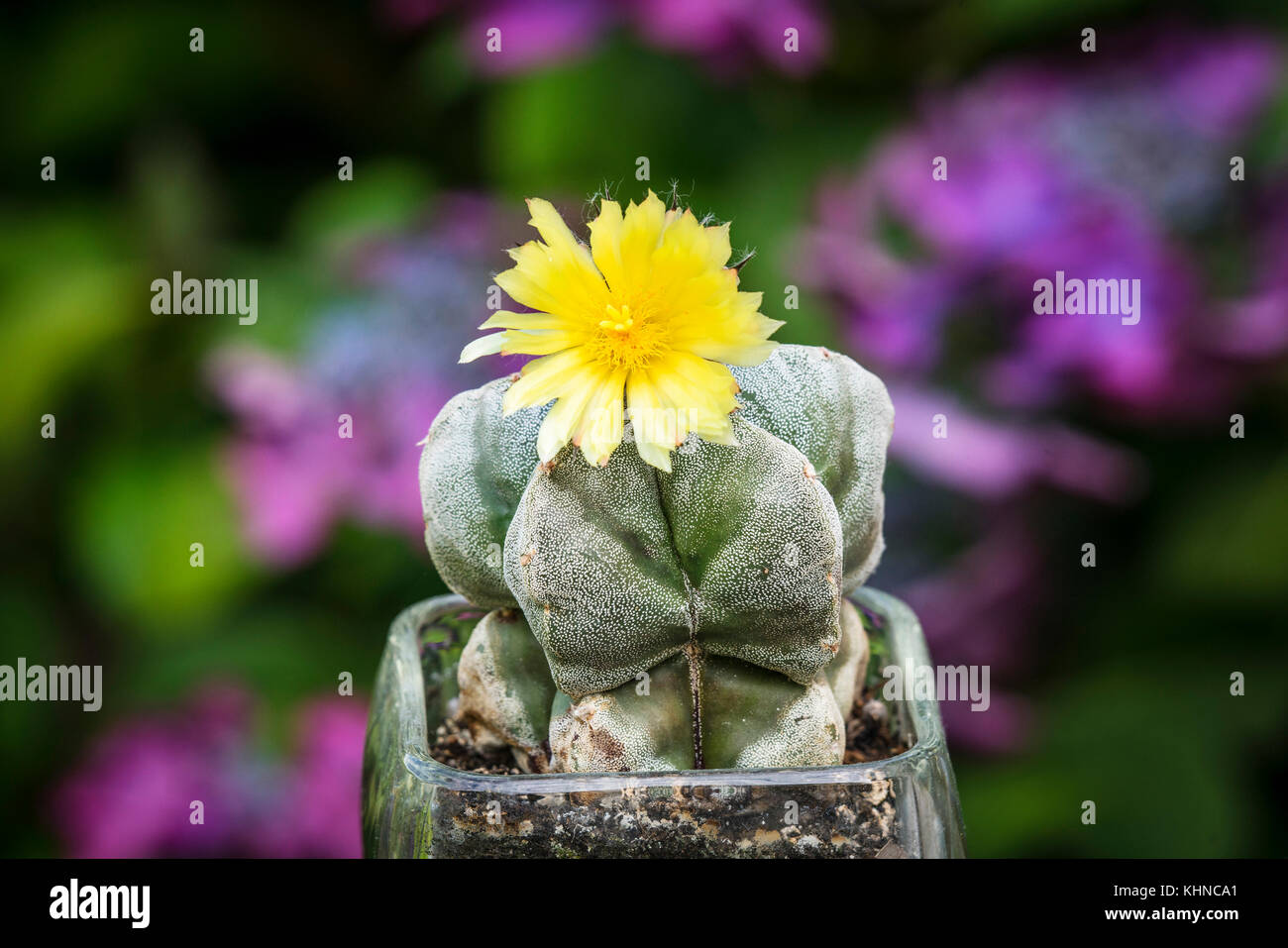 Cactus with a yellow flower in a garden with purple flowers in the background blooming in the summer - Stock Image
