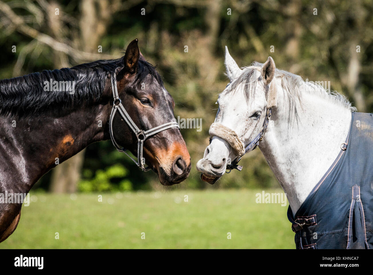 Brown and white horses standing close head to head on a green countryside field - Stock Image