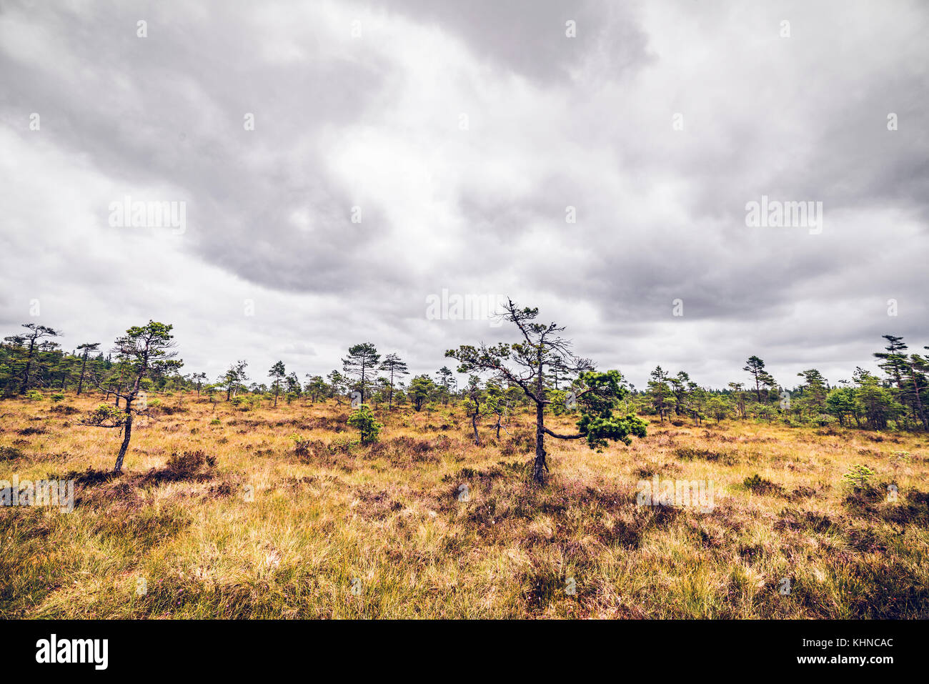 Wilderness landscape with small pine trees in a prairie look under a cloudy grey sky - Stock Image