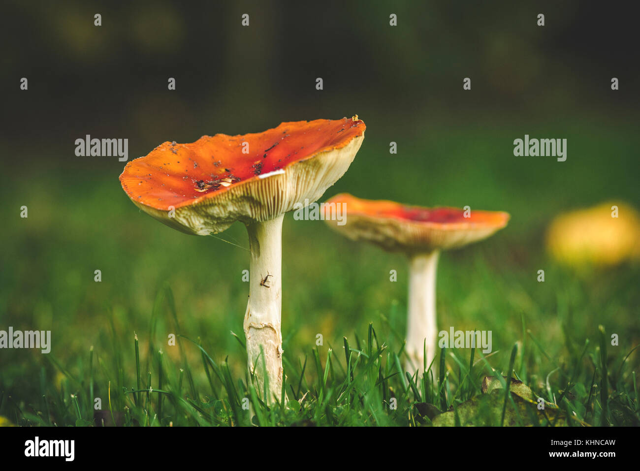 Red mushroom on a green lawn in the fall - Stock Image