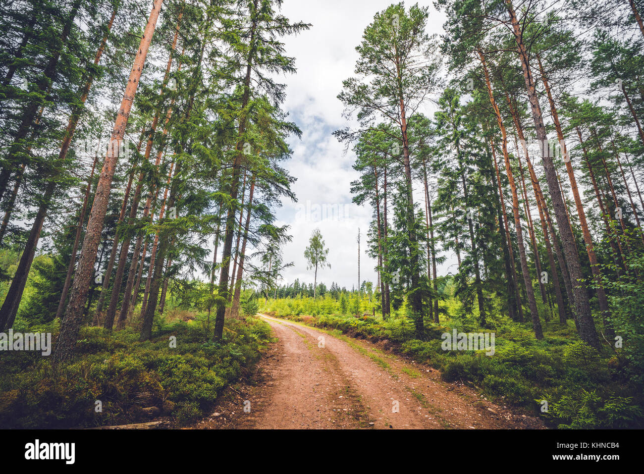 Dirt road running through a pine tree forest in the summer with tall green trees - Stock Image