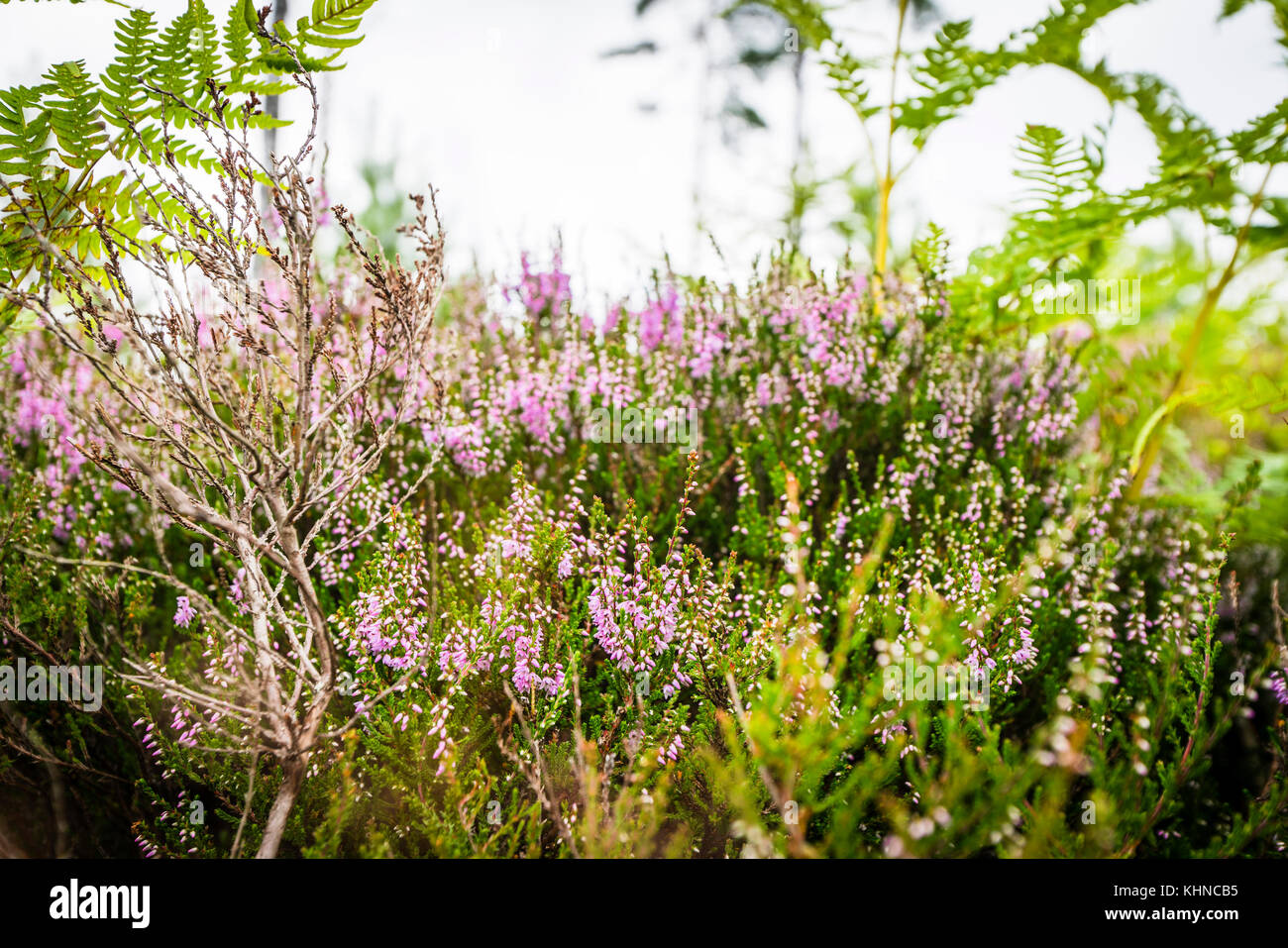 Heather in blooming violet colors on a field in the summer - Stock Image