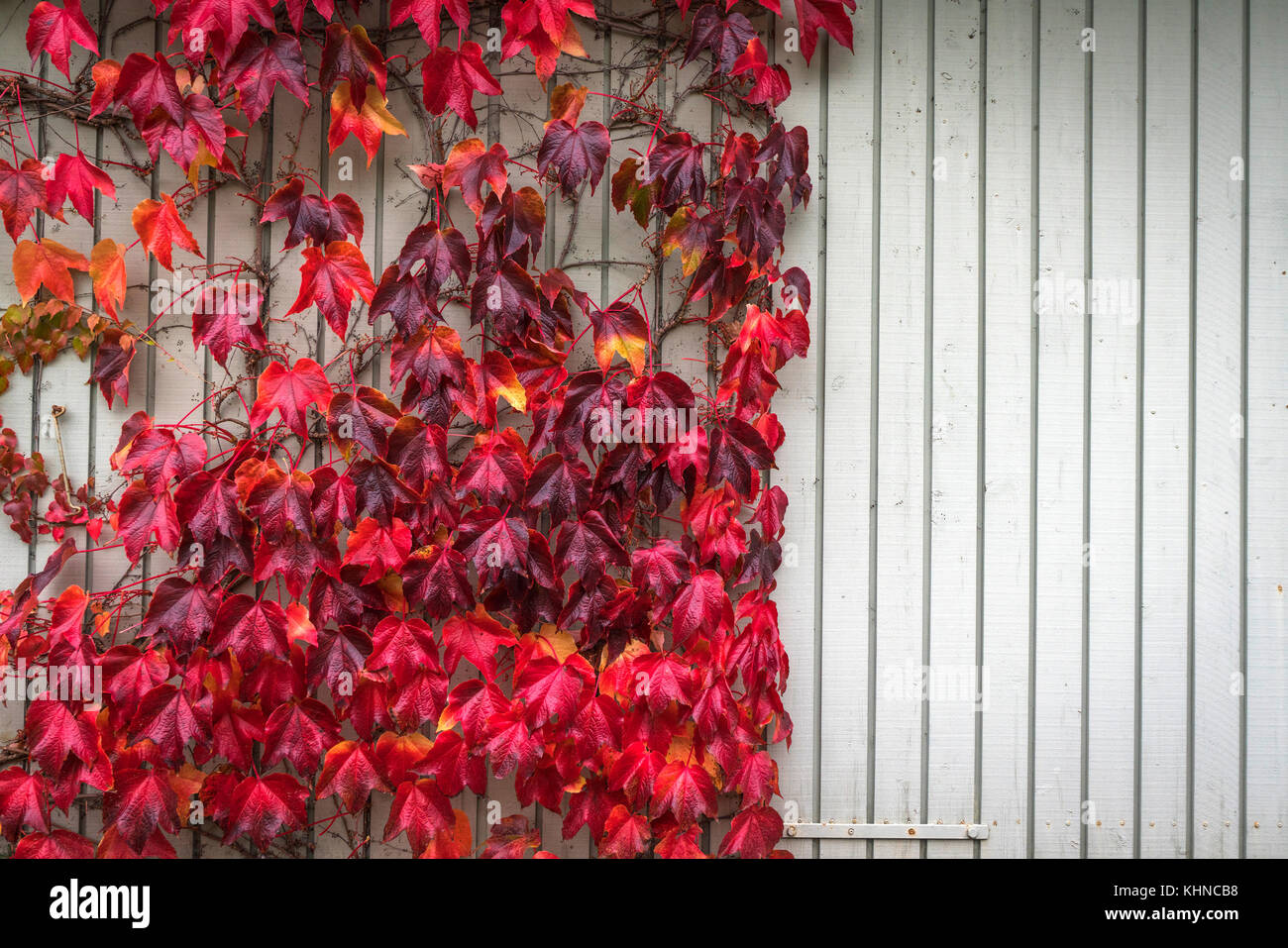 Autumn maple in red colors climbing a wooden wall with bright planks in the fall - Stock Image