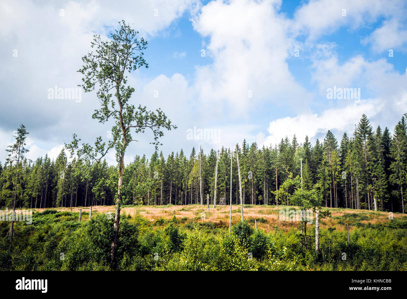 Wilderness with tall pine trees in a dry area with greem bushes and blue sky - Stock Image