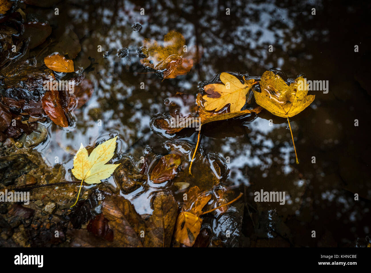Autumn leaves in warm colors floating in a puddle with forest reflections in the water - Stock Image
