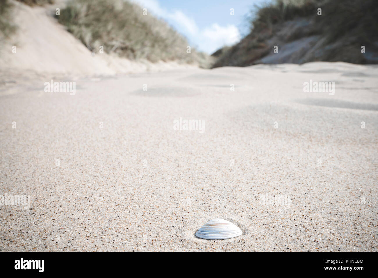 White sea shell in the sand on a nordic coast with dunes on the beach - Stock Image