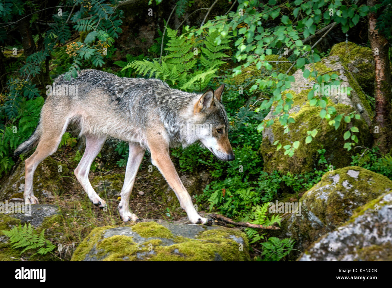 Grey wolf in a nordic forest in the summer walking on rocks - Stock Image