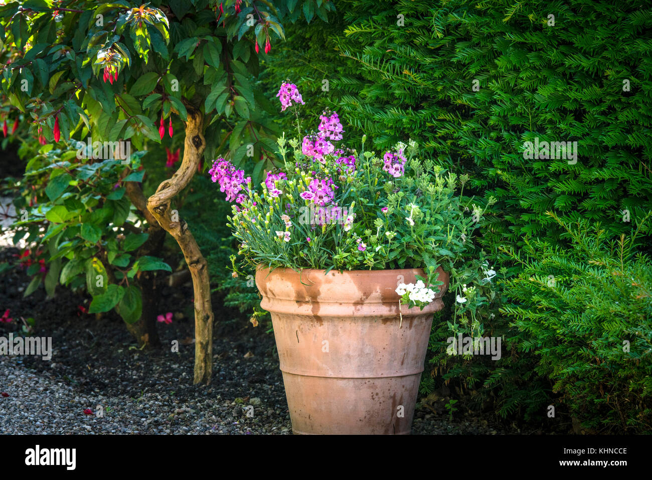 Flowers in a pot with violet flowers in a green garden in the summer - Stock Image