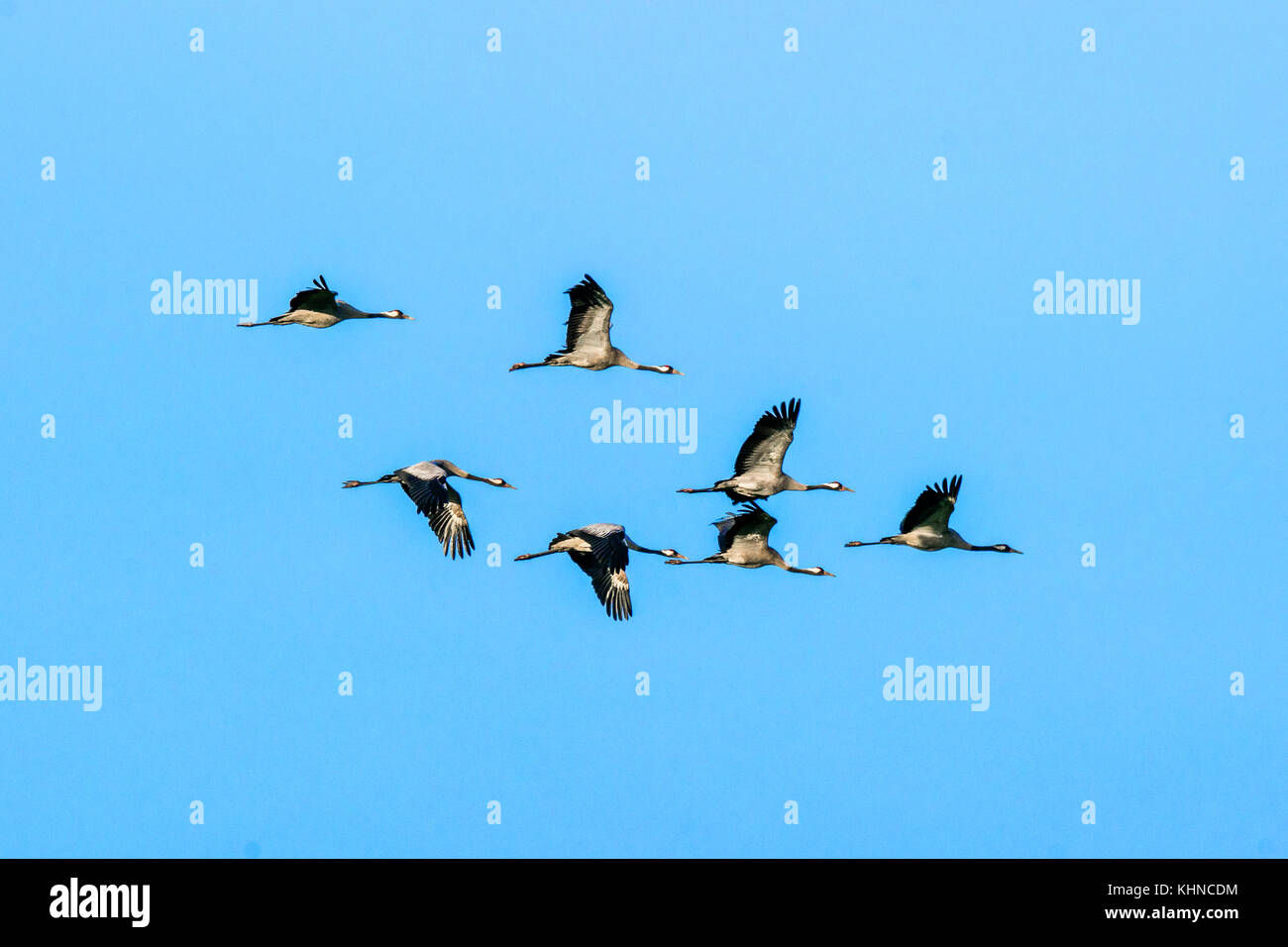 Flock of cranes flying in the air on clear blue sky - Stock Image