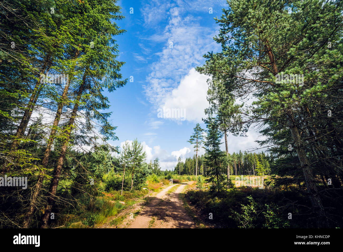 Road in a nordic forest with tall pine trees amd blue sky - Stock Image