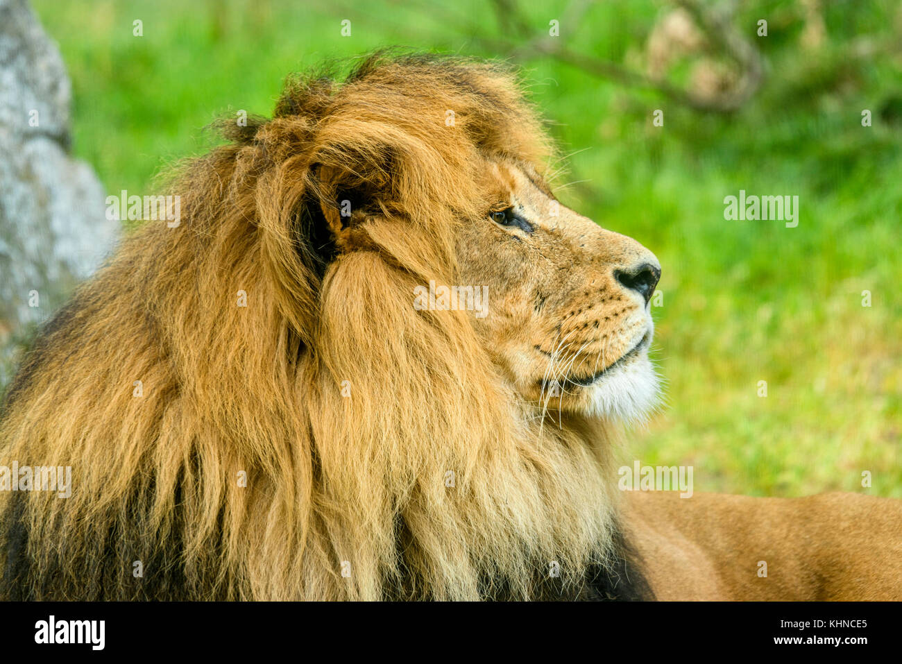 Male Lion with a large mane lying on a field with rocks and green grass - Stock Image
