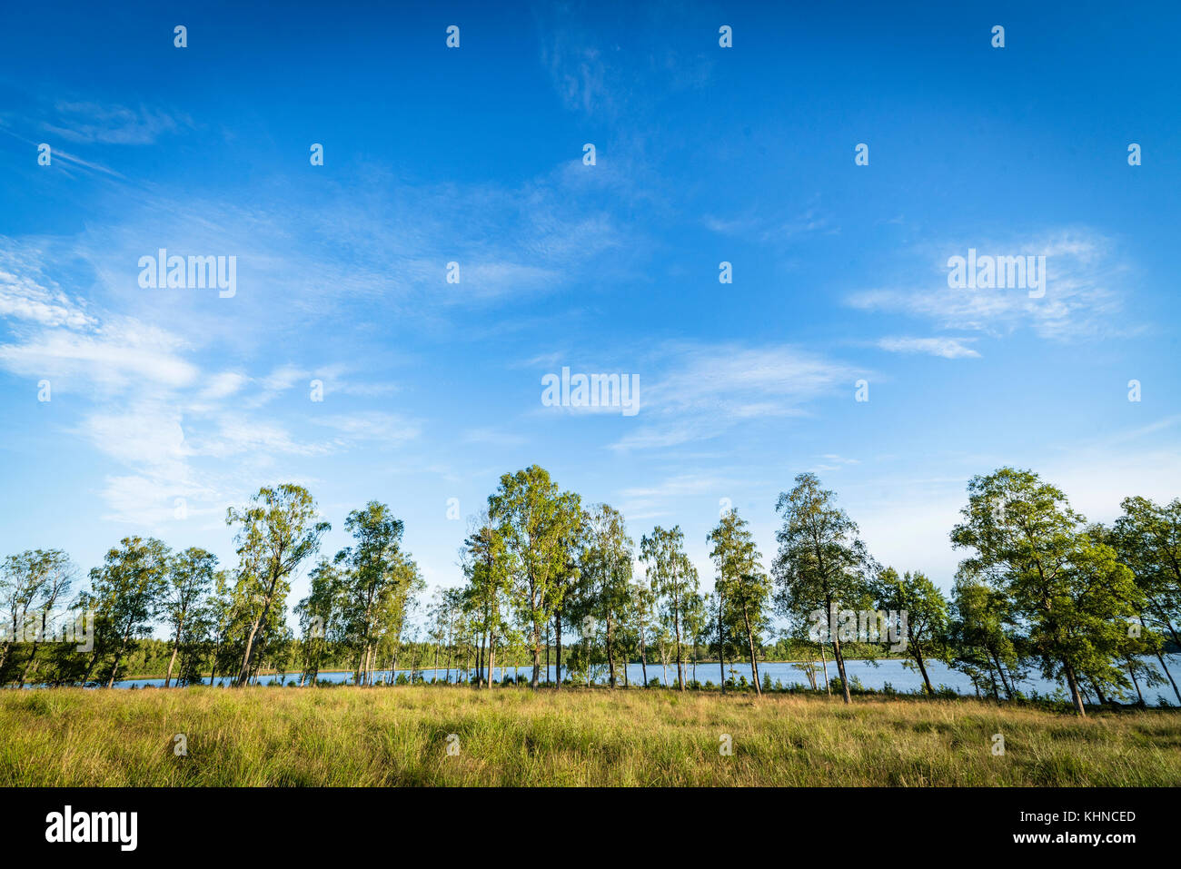 Trees in front of a lake in the summer on a meadow with green grass - Stock Image