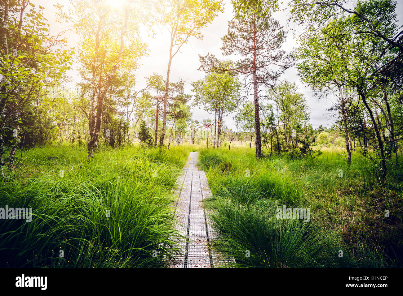 Wooden trail in a swamp area with tall green grass and sunlight trhough the trees - Stock Image