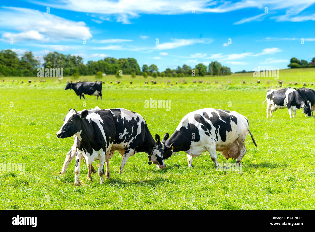 Black and white cattle battle on a green field in the spring under a blue sky - Stock Image