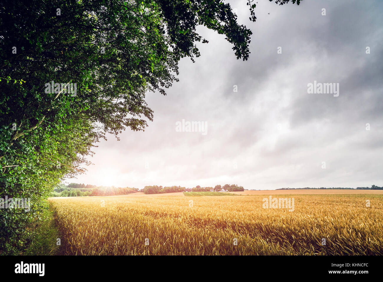 Countryside sunset on a field landscape with golden grain and cloudy sky - Stock Image