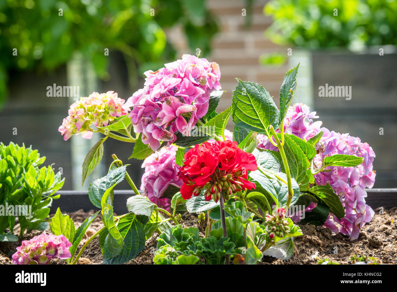 Red and violet flowers in a flowerbed in a garden at summertime - Stock Image