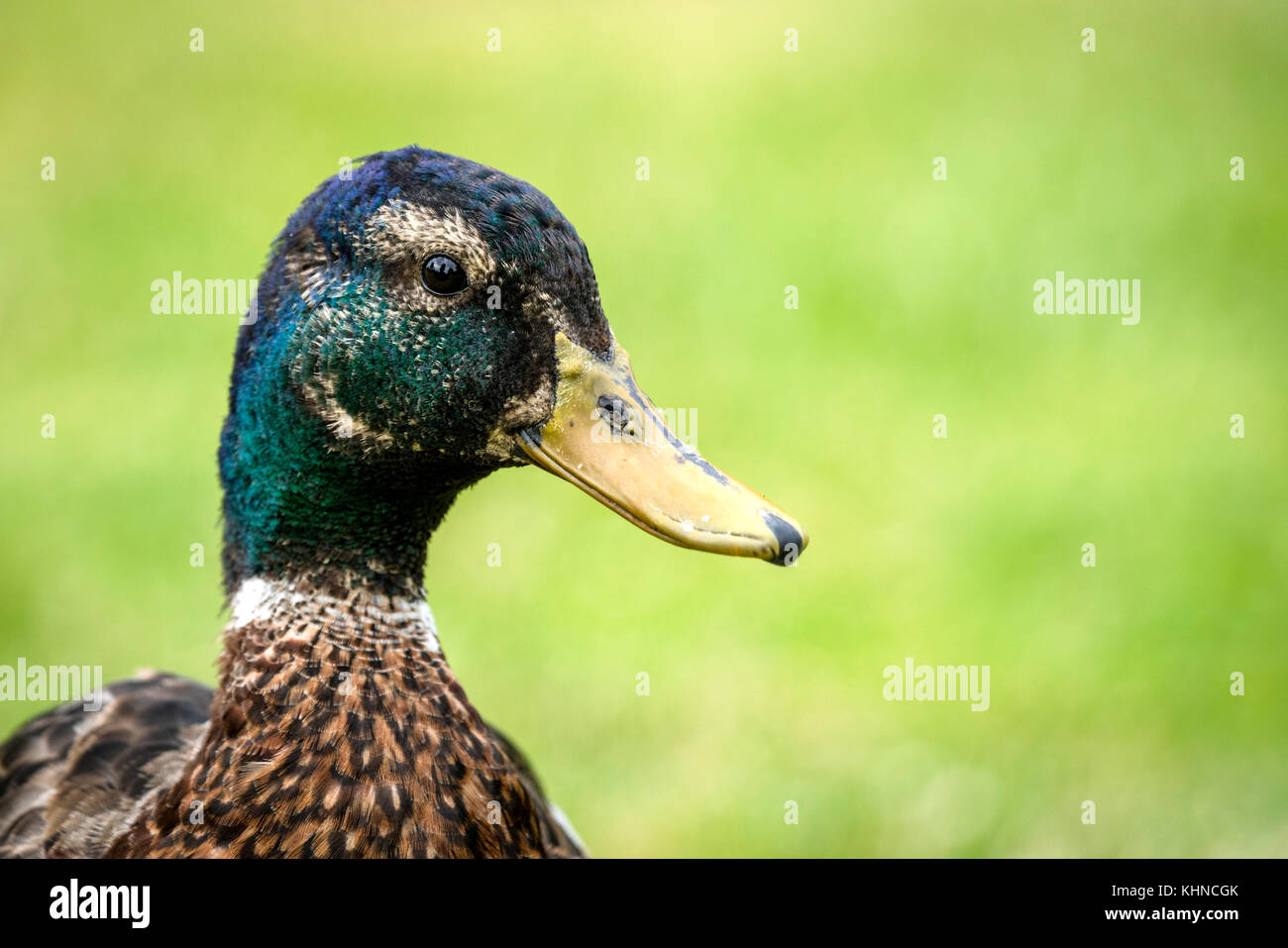 Duck close-up of the head standing out on a blurry green background in the summer - Stock Image