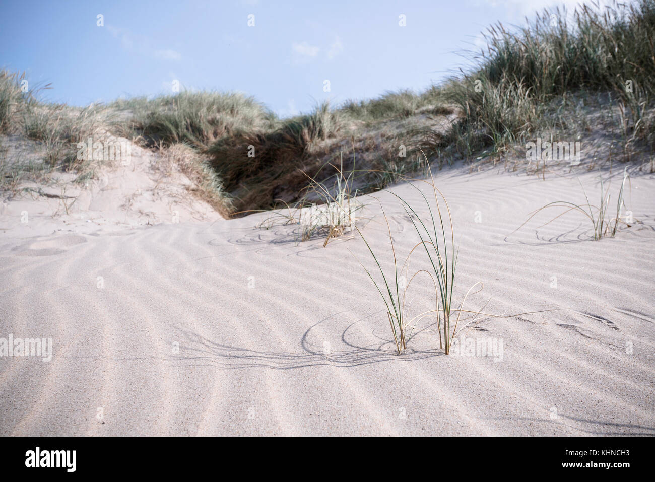Lyme grass on a dune near the sea in Denmark in the summer - Stock Image