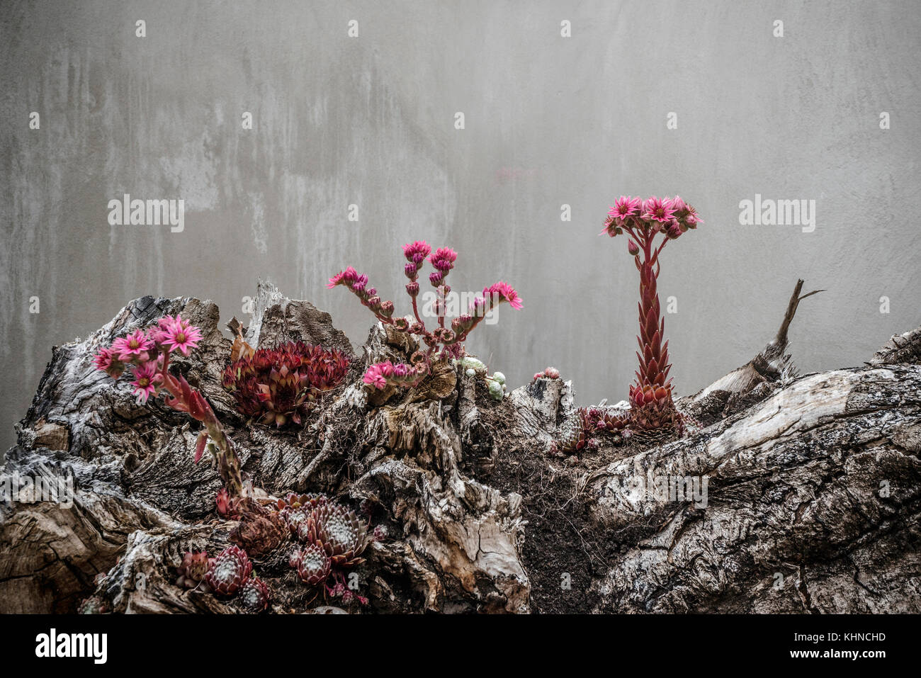 Surreal flowers in violet colors looking alien and from outher space growing on mystical rocks - Stock Image