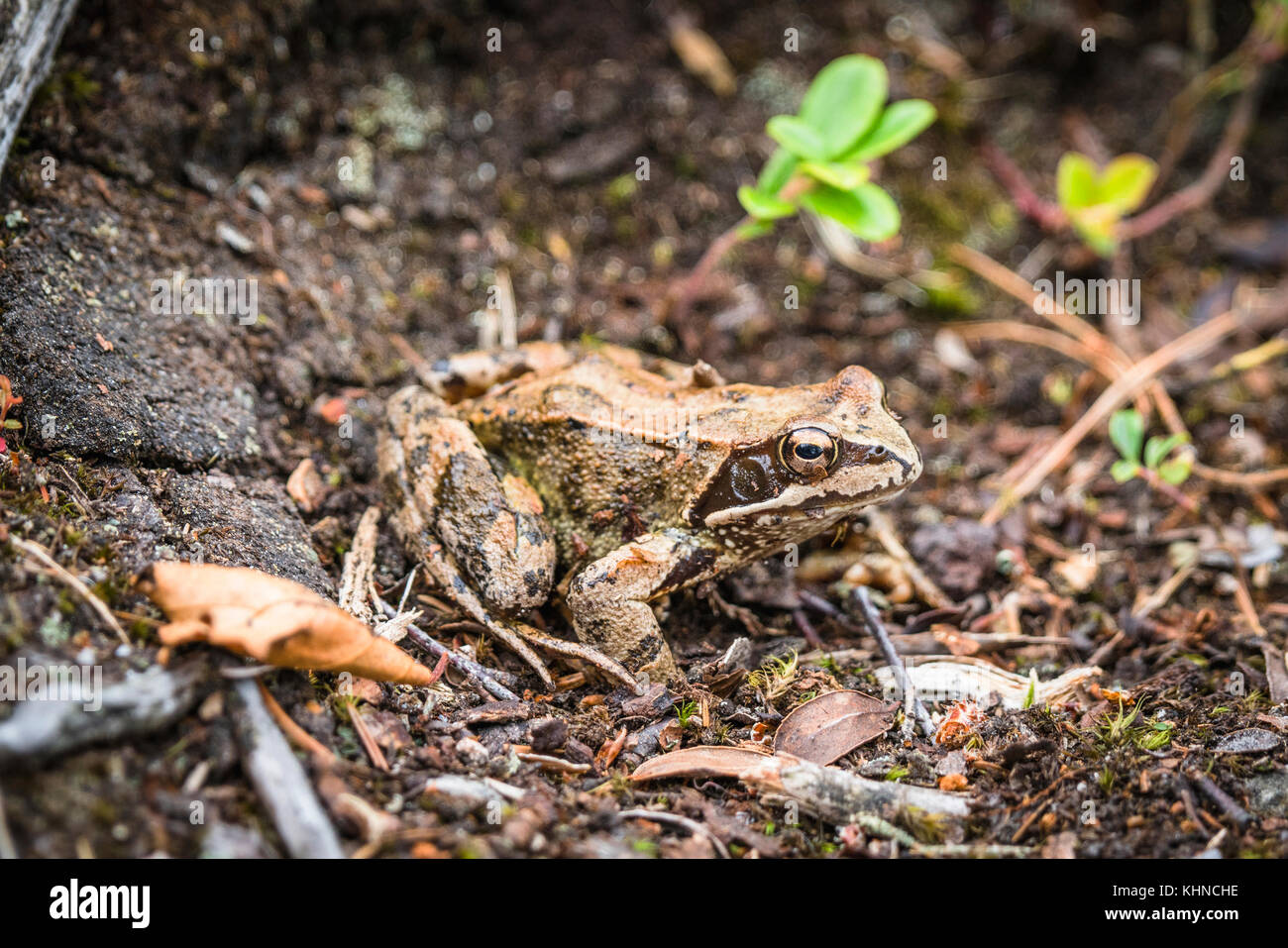 Brown frog with big eyes in the mud in a forest trying to camouflage in the surrounding nature - Stock Image