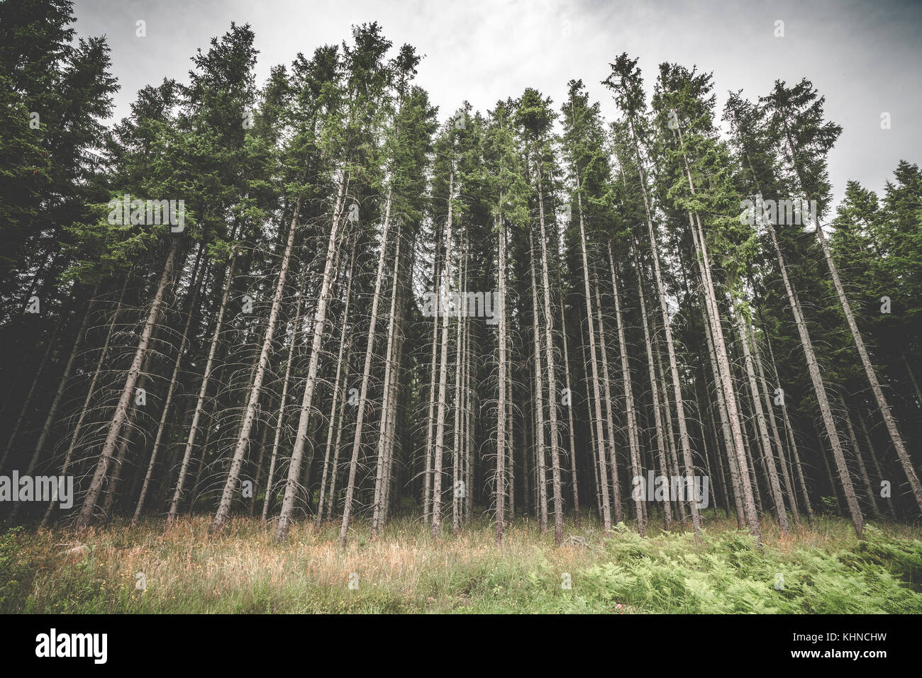 Tall pine tree forest with spooky withered branches in the dark woods in cloudy weather - Stock Image