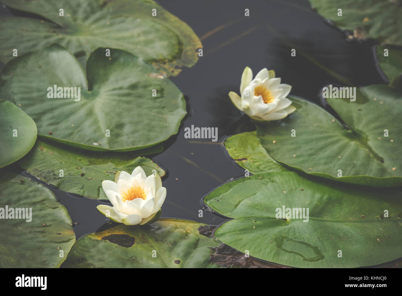 White lily flowers in calm and dark water with large green leaves floating on the water - Stock Image