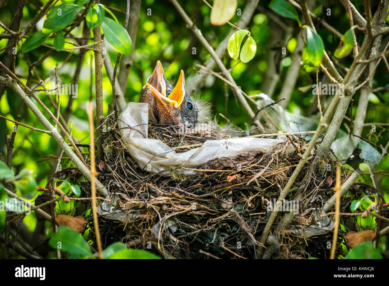 Newly hatched blackbirds in a birds nest in green nature with open beaks waiting for food - Stock Image