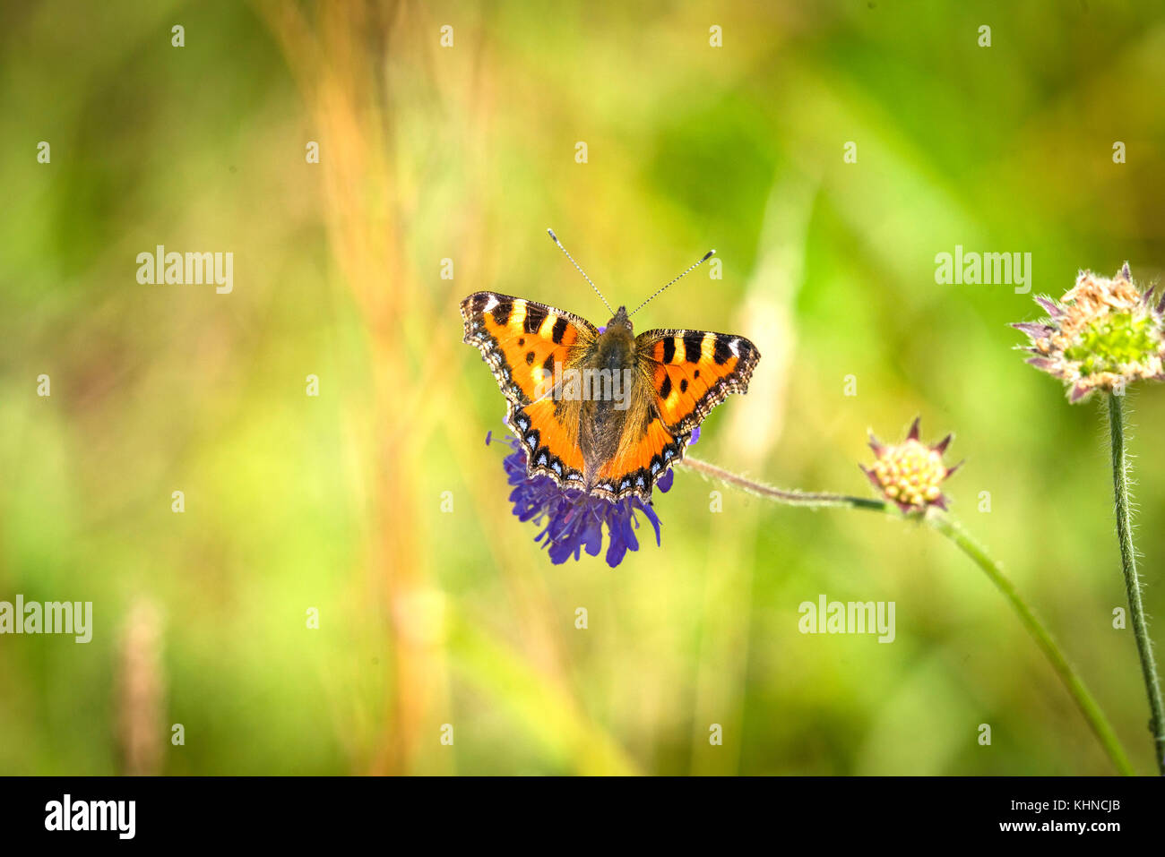 Colorful tortoiseshell butterfly on a purple flower in the summer on a green blurry nature background - Stock Image