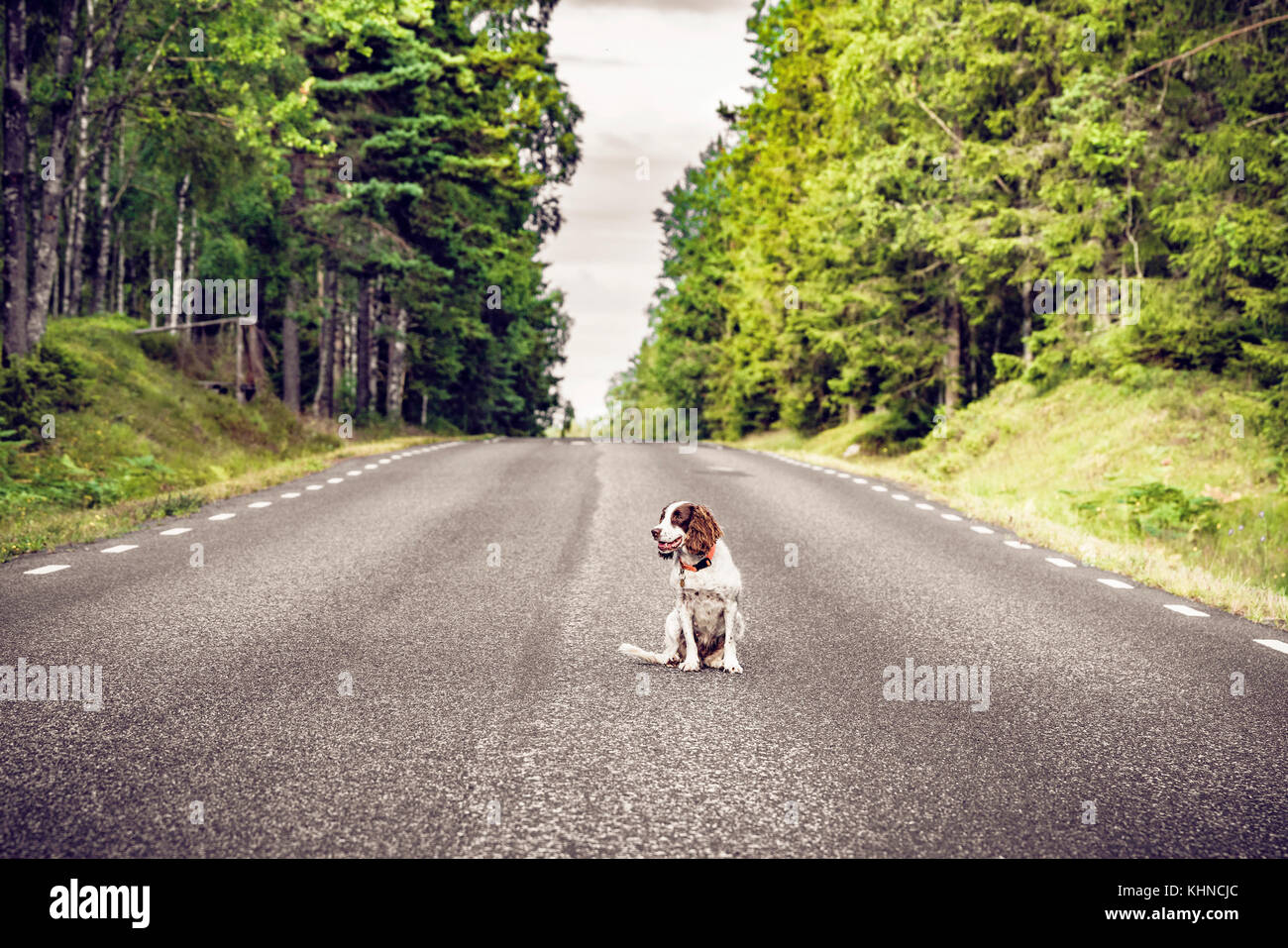 Dog on an empty asphalt road in a forest sitting in the middle of the road - Stock Image