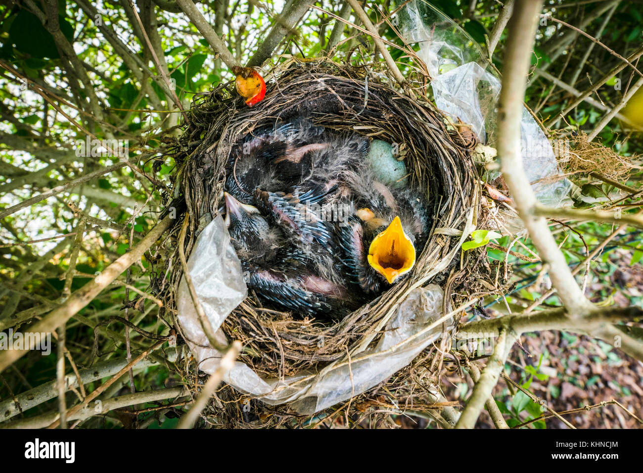 Birdnest from above with newly hatched hungry blackbirds screaming for food - Stock Image