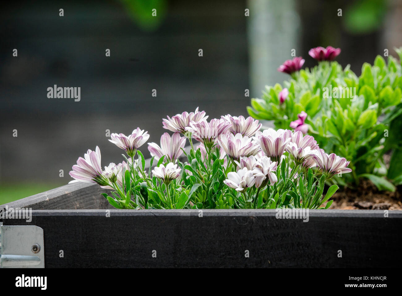 Garden flowers in  black wooden box in the summer looking beautiful with green leaves - Stock Image