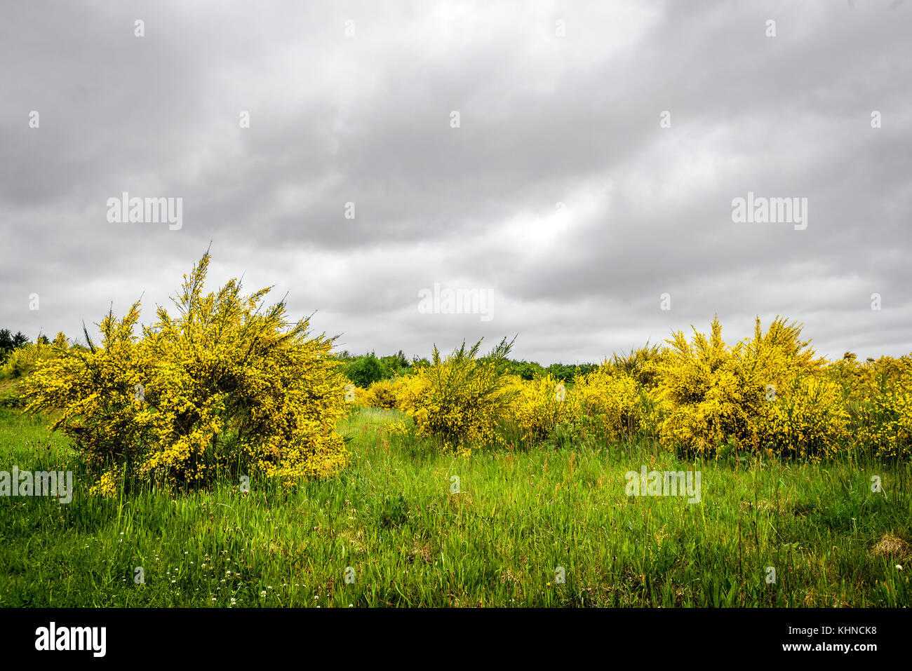 Yellow broom bushes on a green field in cloudy weather in the spring in beautiful yellow colors - Stock Image