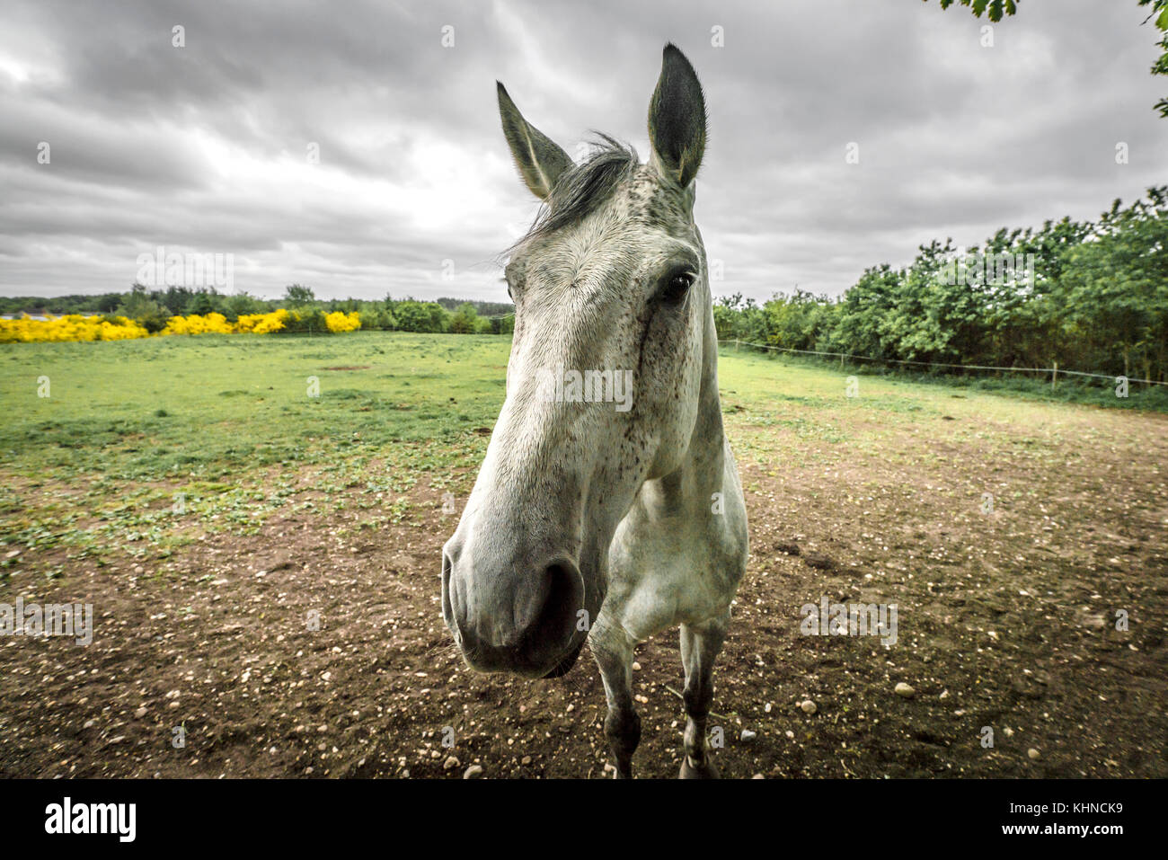 Close-up of a white horse on a rural field in cloudy weather - Stock Image
