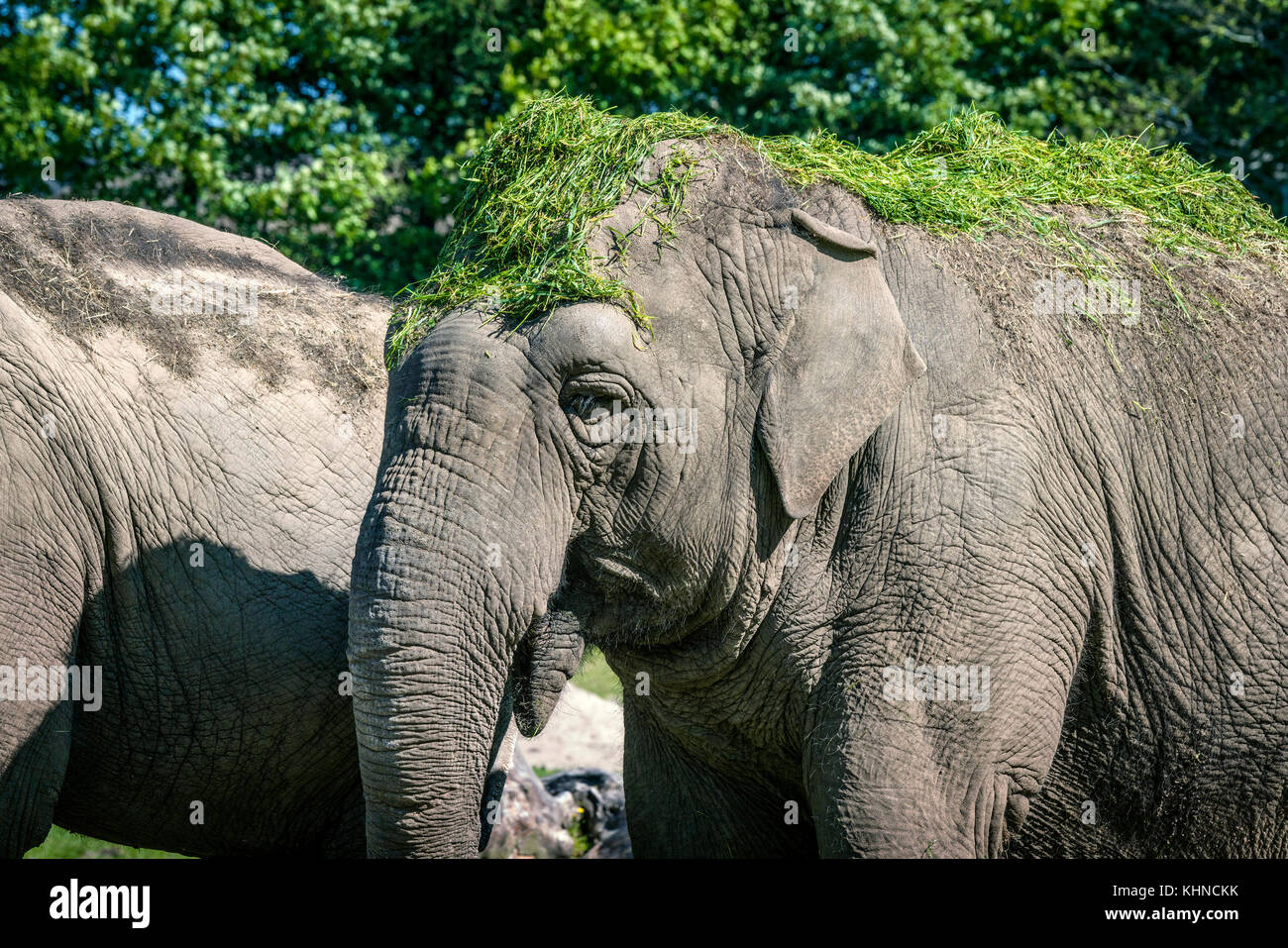 Elephant eating with green grass on the head to cool it down - Stock Image