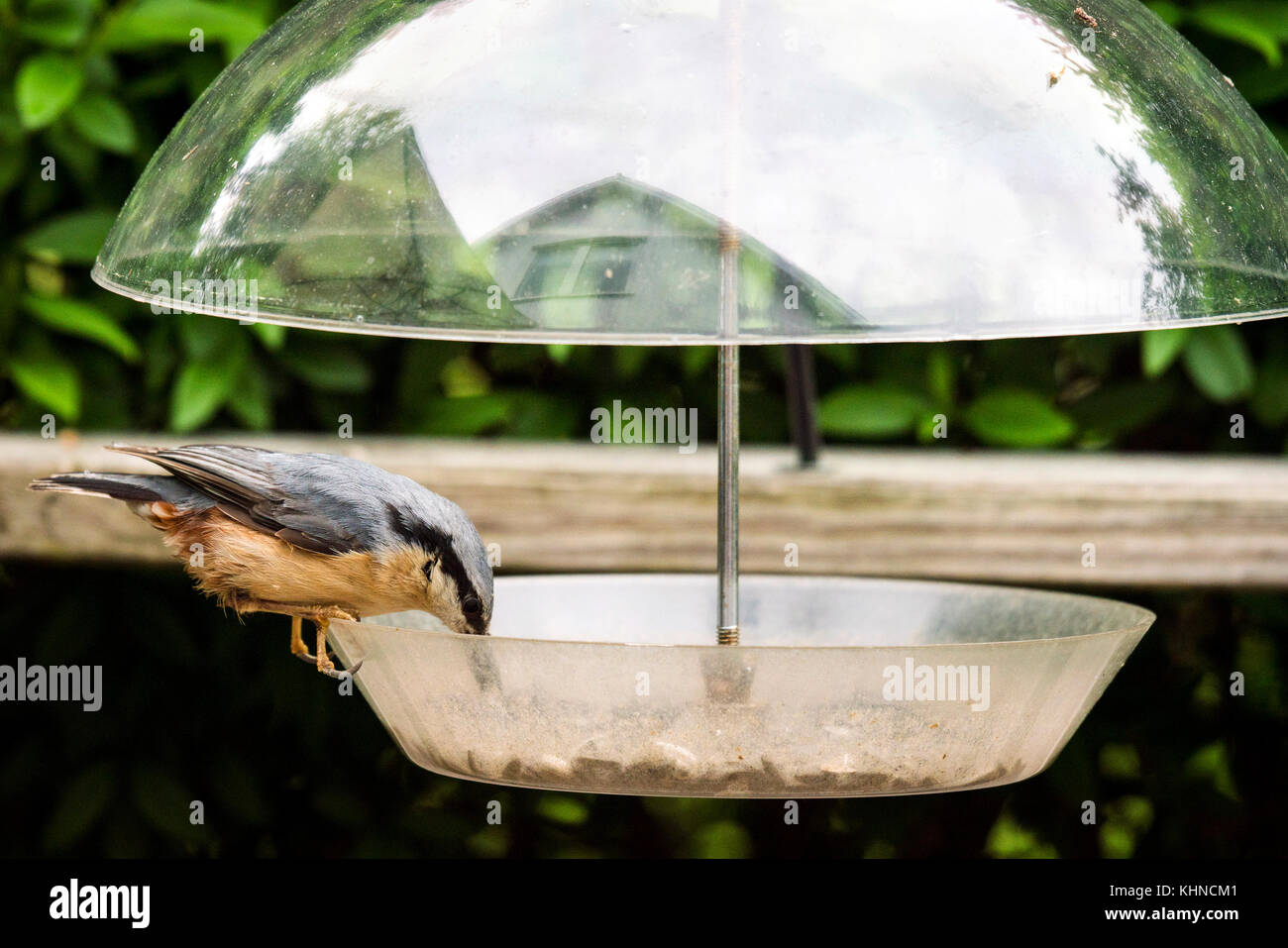 Nuthatch bird on a feeding board with seeds in a garden in the summer - Stock Image