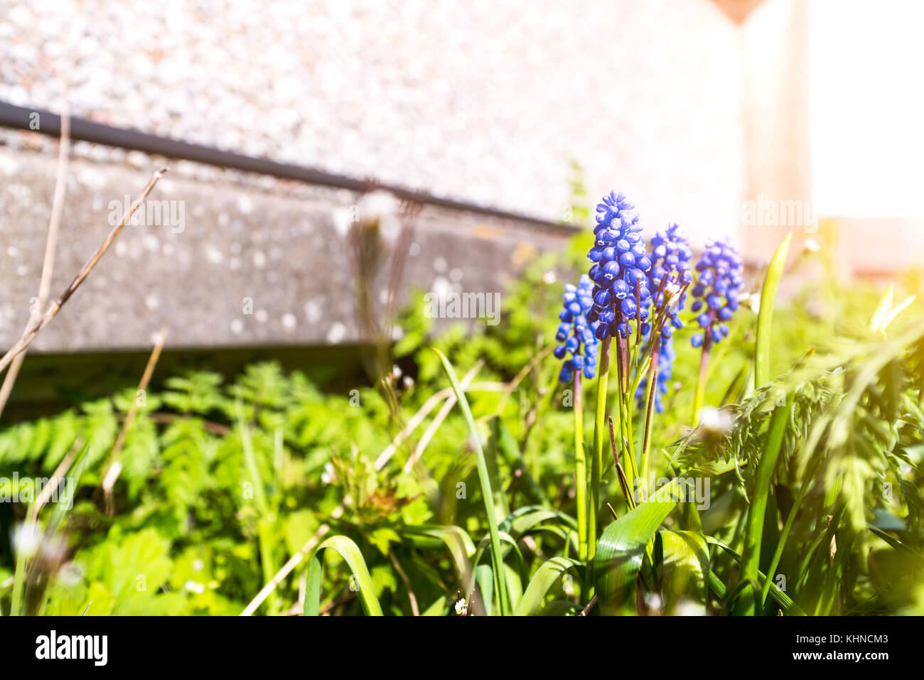 Bluebell flower in a garden in the spring with blooming blue flowers in the sun - Stock Image
