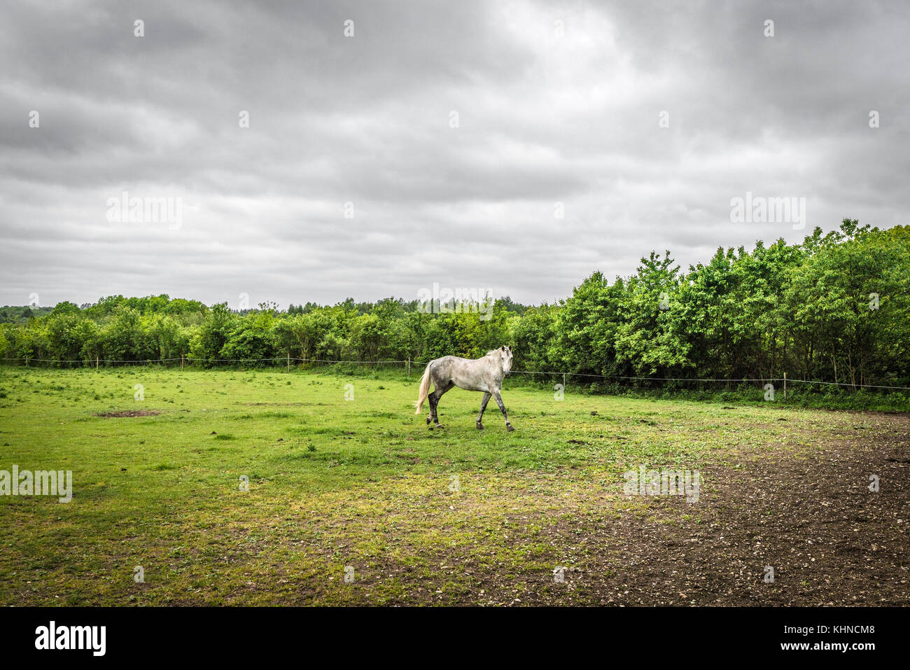 White horse walking on a field with a fence in a rural environment with green trees and cloudy weather - Stock Image