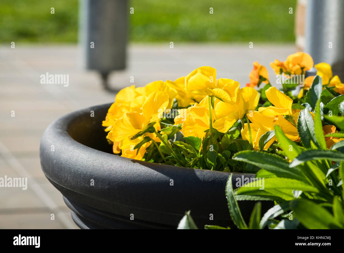 Viola tricolor flowers in yellow on terrace in a flowerpot in the summer - Stock Image