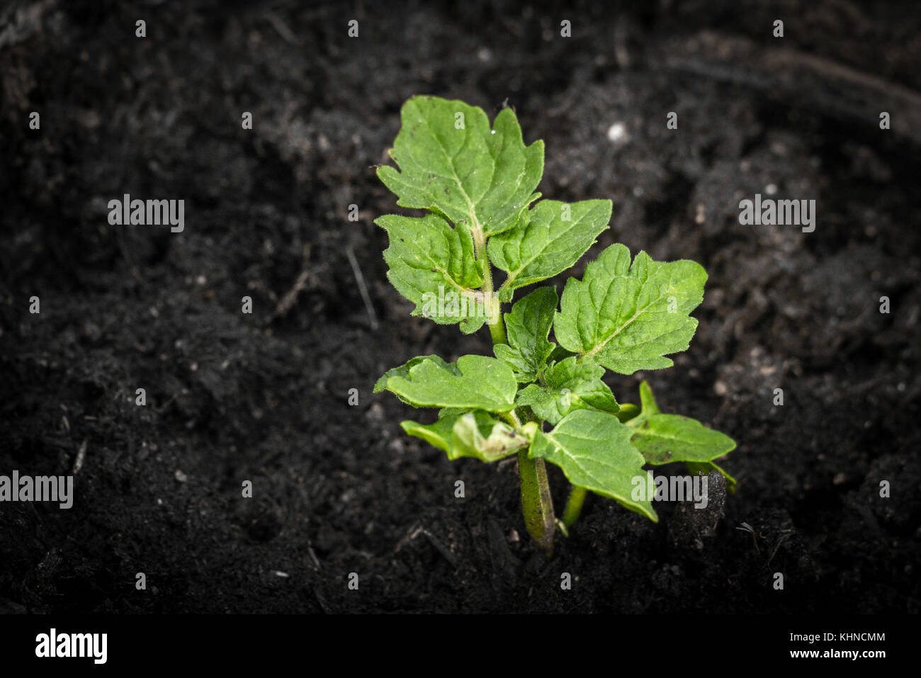 Green plant growing in dark soil in the spring with fresh green leaves - Stock Image