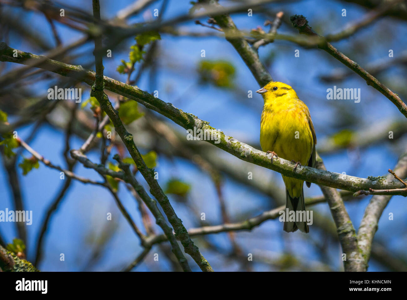 Serinus Serinus bird on a small twig in a tree in the spring with golden feathers - Stock Image